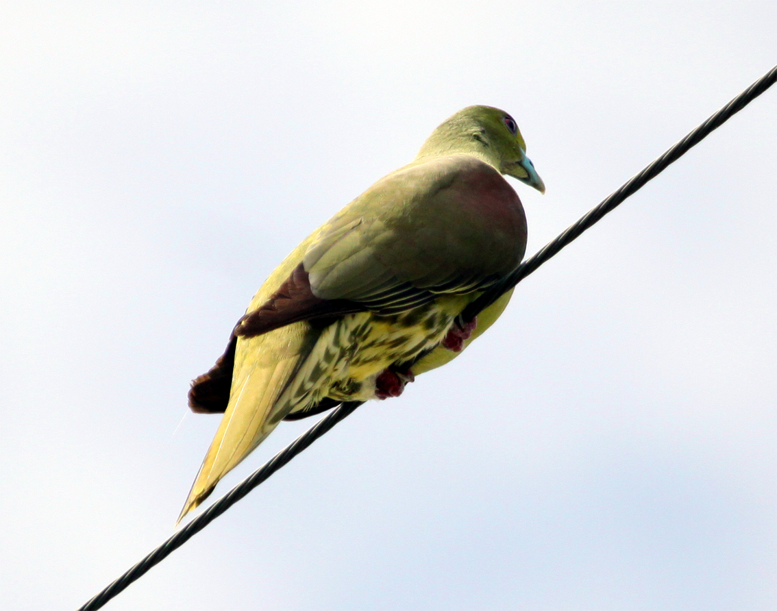 Green pigeon hunting