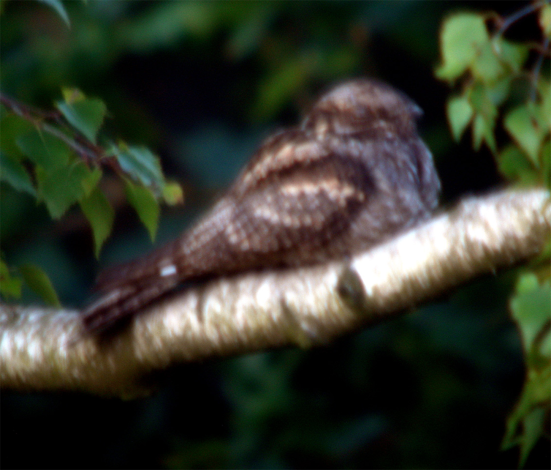 nightjar_marsham300614